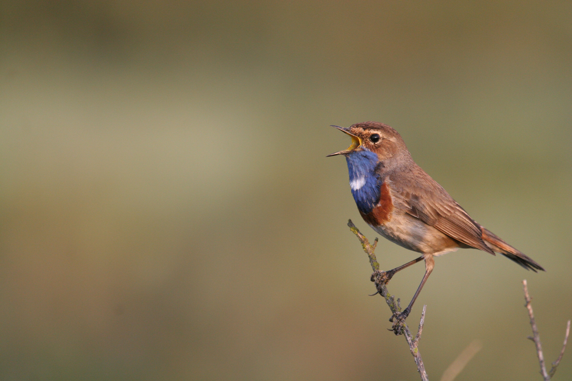 Gorgebleue à miroir, faune du Sud Vendée Littoral