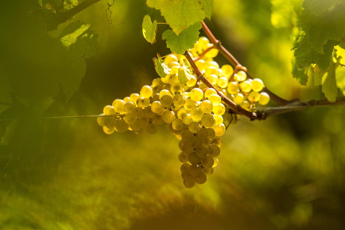 Les vignobles sont constitués pour le cépage blanc : Chenin, Chardonnay, Sauvignon