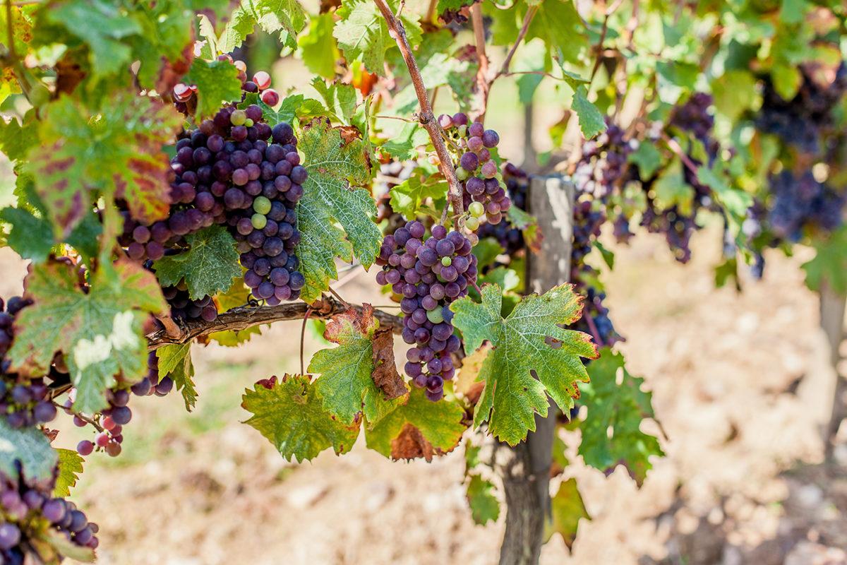 La Négrette, un cépage rare mais toujours cultivé dans le vignoble mareuillais